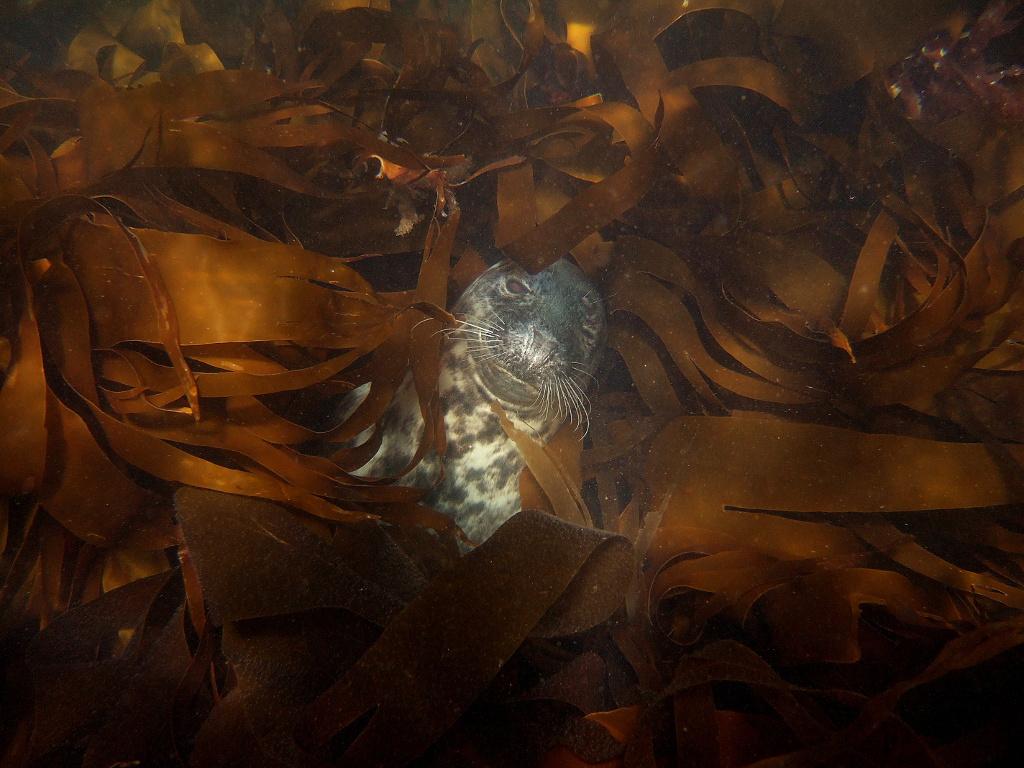 grey seal hiding in brown seaweed in the Fal Estuary Cornwall