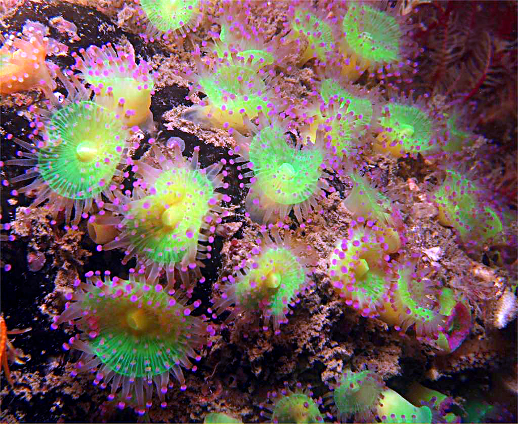 open jewel sea anenomes
