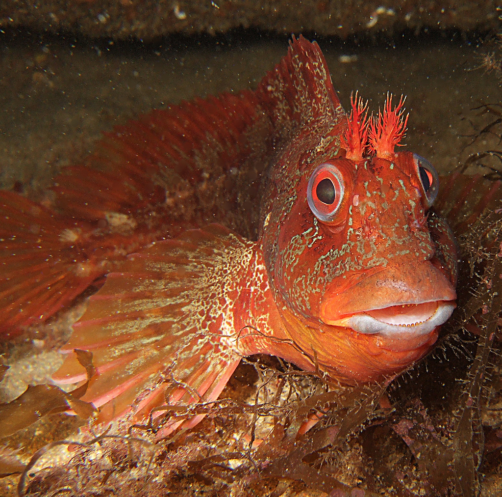 oraange and camouflaged tompot blenny fish in the fal estuary cornwall