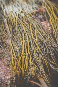 Long brown seaweed in the Fal Estuary Cornwall